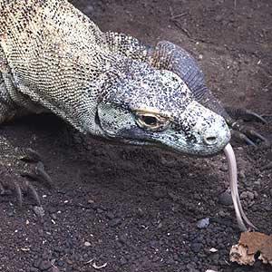 Varanus-komodoensis-(Komodo)