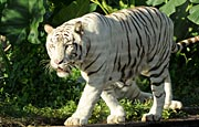 safari_exhibits_rathambore1